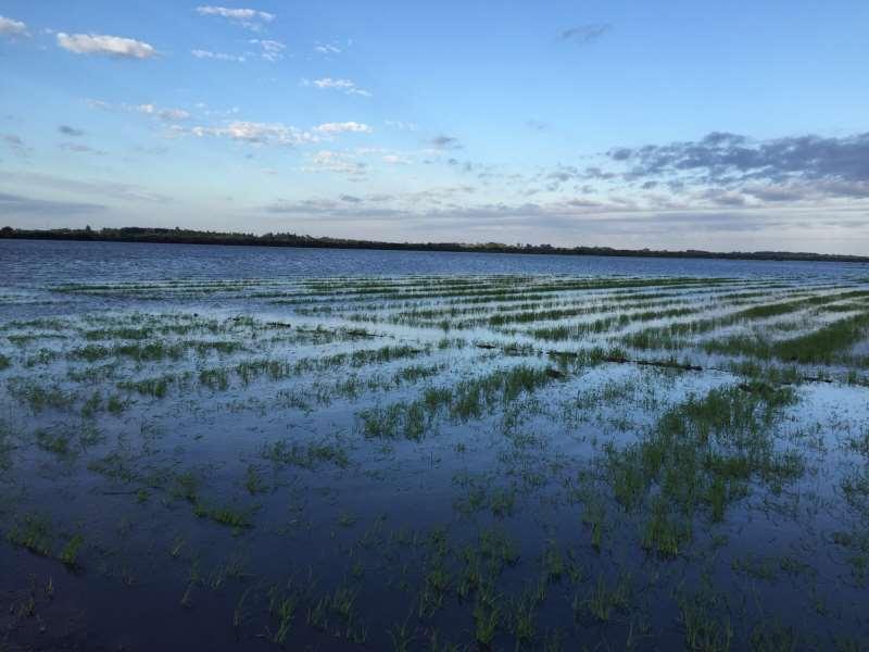 Lavouras gaúchas de arroz tiveram prejuízos devido ao clima
