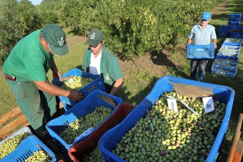 Após colheita de culturas temporárias e permanentes, mão de obra é dispensada como em olivais