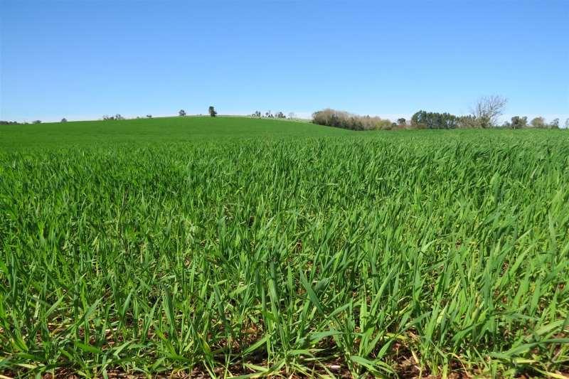 Únicas regiões com áreas a serem plantadas com o cereal são o Planalto e os Campos de Cima da Serra