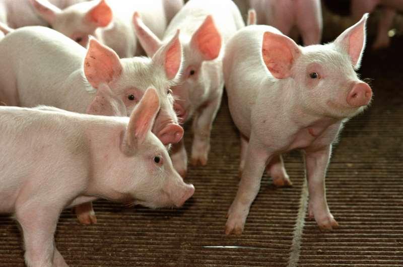 Exportadores de suínos seriam beneficiados com sobretaxas chinesas