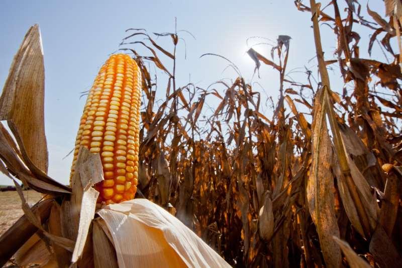 Segundo a Emater, 32% das lavouras gaúchas de milho já estão colhidas