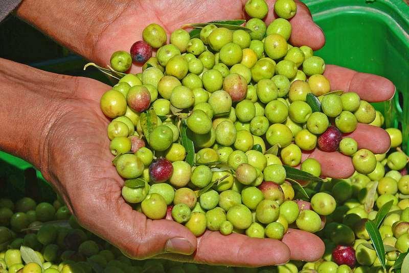 Evento deve contar também com três estações demonstrativas sobre cultivo de oliveiras