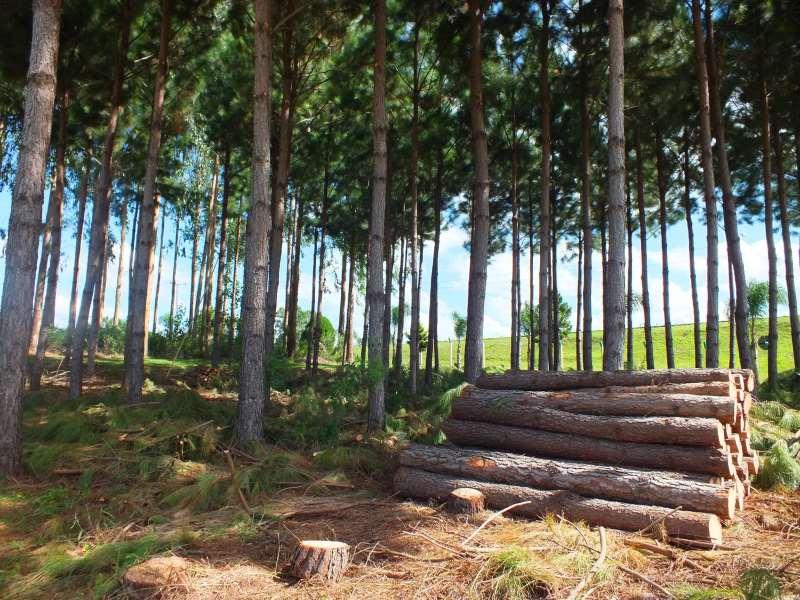 Floresta comercial de Pinus. Reflorestamento. Exploração de madeira. Divulgação Emater