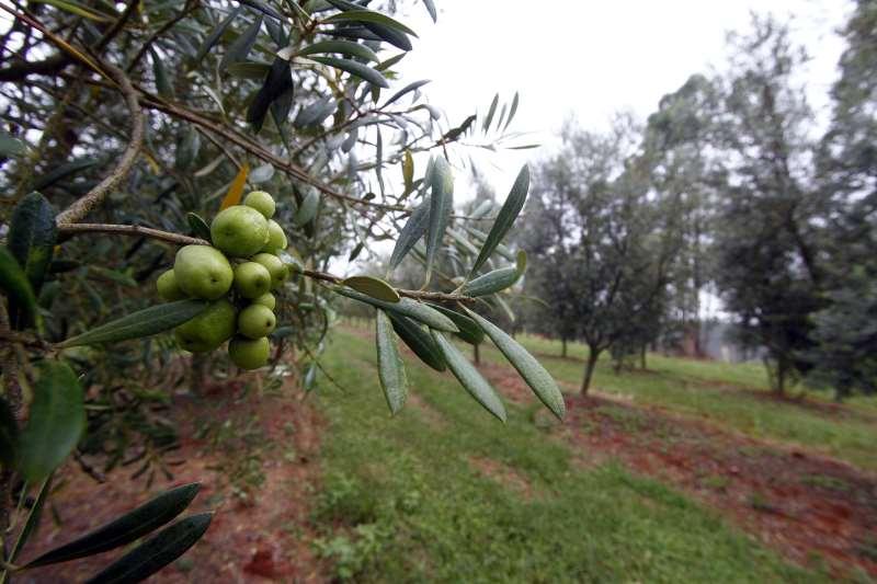 Nos dois estados, a plantação ocupa cerca de 1.200 hectares