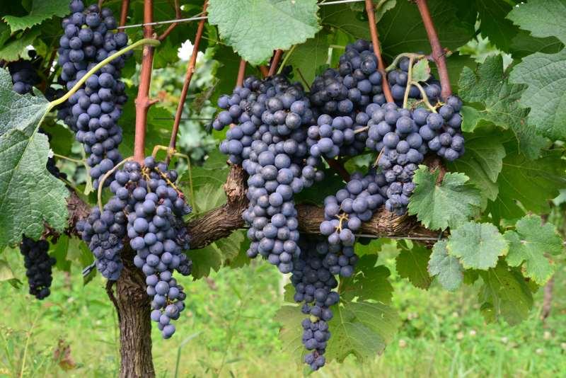 Cachos de uva. Vitivinicultura. Parreiral. Videiras. Fotos Gilmar Gomes