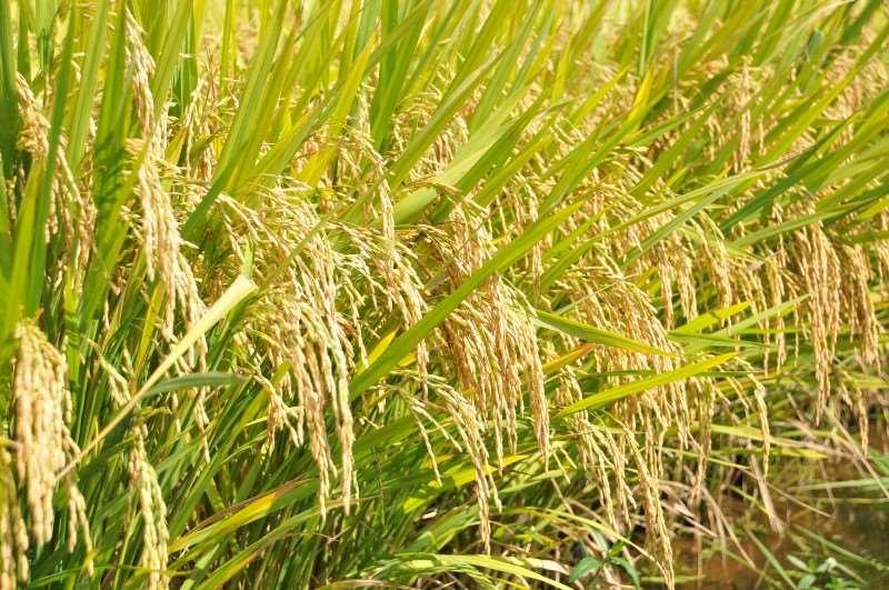 Maior previsão de crescimento é do arroz, com elevação de 12,2%