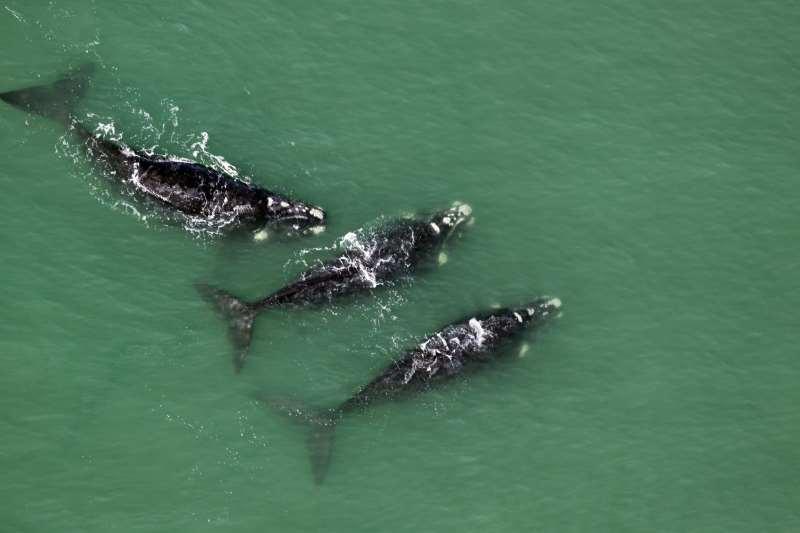 Capão da Canoa, Torres e Mostardas tiveram registros dos animais, que estão em período reprodutivo