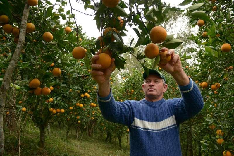 Colheita de laranjas. Fruticultura. Foto Kátia Marcon - Emater
