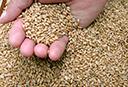 Entidades projetam queda na produção gaúcha de trigo