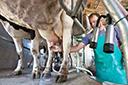 Crise no setor lácteo muda o perfil do produtor gaúcho