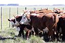 Rebanho de bovinos e frangos e produção de leite crescem no Rio Grande do Sul