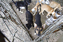 Orientação é sacrificar cães com leishmaniose