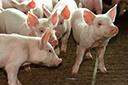 Em nove meses, embarques de carne suína superam todo o ano de 2019