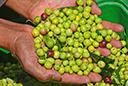 Abertura da colheita da oliva no Rio Grande do Sul será em março