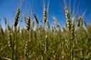 Umidade no solo beneficia desenvolvimento do trigo, diz Emater