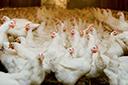 Exportações totais de frango caem 14,7% em janeiro, aponta ABPA