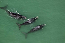 Sobrevoo flagra baleias entre os litorais gaúcho e catarinense